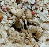 Scaly Tailed Mantis Shrimp