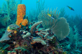 Tube Sponge with Fan Coral