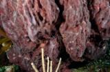 Giant Barrel Sponge with Banded Coral Shrimp