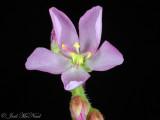 Cape Sundew: Drosera capensis
