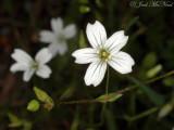 Lime-barren Stitchwort: Minuartia patula