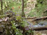 Wild Columbine, Fernleaf Phacelia, & Wild Stonecrop