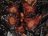 Pink Sundew: Drosera capillaris