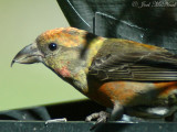 Red Crossbills: May 2009