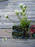 Venus Flytrap: Dionaea muscipula