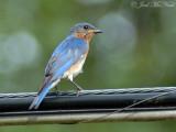 Bluebirds 2009