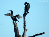 Double-crested Cormorants: Phalacrocorax auritus