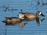 Blue-winged Teal: Anas discors