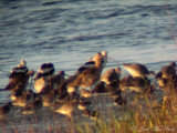 Long-billed Curlew (with American Avocets, etc.)