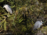Black and Yellow-Crowned Night Herons