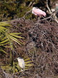 Roseate Spoonbill and Black-crowned Night Heron