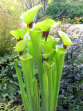 Yellow Pitcher Plant: Sarracenia flava