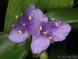 Virginia Spiderwort: Tradescantia virginiana