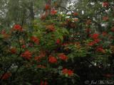 Flame Azalea: Rhododendron calendulaceum