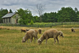 Sheep grazing in front of Harmony Town Hall.