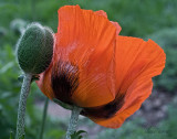 stages of poppy