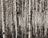 aspens in shadow and light