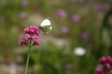 Mystras Wildflowers