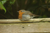 Robin .jpg