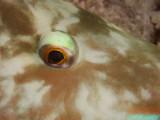 Papegaaivis7 oog.JPG