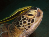 Schildpad met remora1.JPG