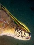 Schildpad met remora2.JPG