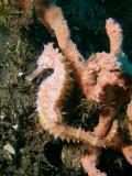 Zeepaardje2.JPG