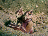 Mimicry Octopus1.JPG