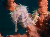 Zeepaardje5.JPG