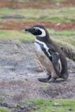 6  Magallenic Penguin.jpg
