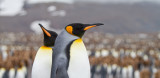 24 King Penguins at Colony.jpg