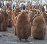 33 King chick standing foreward.jpg