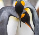 36 King Penguins courting.jpg