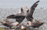 39 Giant Petrels eating killed King.jpg