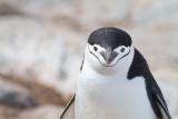 42 Chinstrap penguin.jpg
