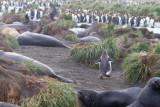 53 Gentoo running thru seals.jpg