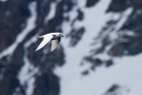 65 Snow Petrel by mountain.jpg