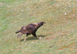 Striated Caracara running.jpg