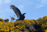 Turkey Vulture and nest.jpg