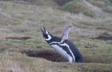 Magellanic penguin calling.jpg