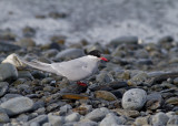 Anarctic tern female-2.jpg