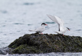 Anarctic terns_.jpg