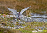 Antarctic terns- mating.jpg