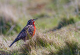 Meadowlark- Longtailed.jpg