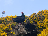 Turkey vulture at nest entrance.jpg