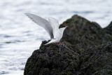Anarctic tern  female.jpg