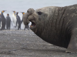 Elephant Seal Male-2.jpg
