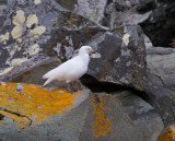 Snowy Sheathbill on rocks.jpg