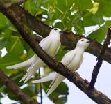 White Tern Pair
