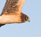 Female Harrier Hawk